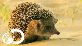 Download Cute But Vicious Hedgehog Attacks A Deadly Viper | Wildest Middle East Video