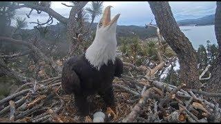 Download Big Bear Eagles ~ INTRUDER ALERT!! ✦ DEFEND & PROTECT! Intruder Follows Shadow! ✦ 1.20.20 Video