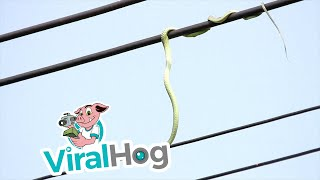Download Snake Chases Birds on Power Line    ViralHog Video