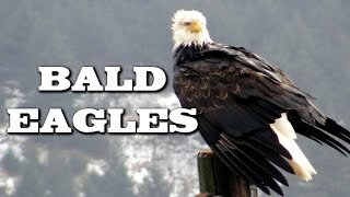 Download All About Bald Eagles for Kids: Animal Videos for Children - FreeSchool Video