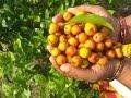 Download jujube fruit harvesting in my village | elantha pazham Video