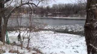 Download Trumpeter swans on Mississippi River in Monticello, Minneso Video