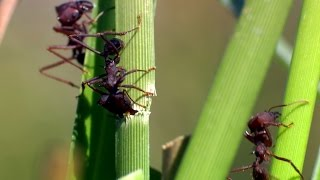 Download A production line of ants - The Wonder of Animals: Episode 4 Preview - BBC One Video