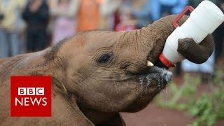 Download One woman's mission to save orphaned elephants - BBC News Video