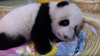 Download Teaching A Baby Panda To Poo | Panda Babies | BBC Earth Video