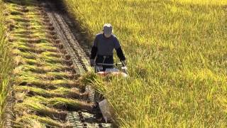 Download 2015 稲刈り Japanese harvesting of the rice Video