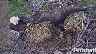 Download SWFL Eagles ~ E9 Bites Mom Foot; Grabs Fish From Dad 2.23.17 Video