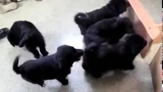 Download Norwegian Elkipoo Puppies For Sale Video