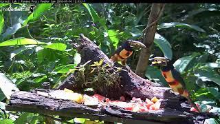Download Sun-soaked Collared Aracaris Eat Watermelon And Pineapple In Panama – Jan. 16, 2018 Video