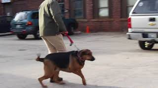 Download Dog Training | Check out the awesome difference in Ginger | Solid K9 Training Dog Training Video