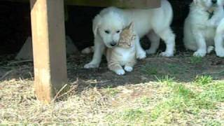 Download English Cream Golden Retriever puppies and cats Video