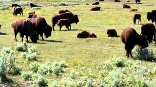 Download Bison sounds Video
