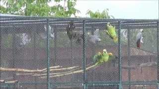 Download Papagáje - kúpanie v daždi Video