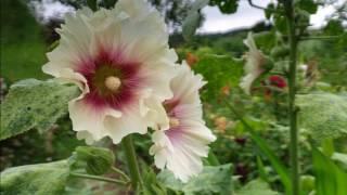 Download ジベルニーの庭とモネの家 Video