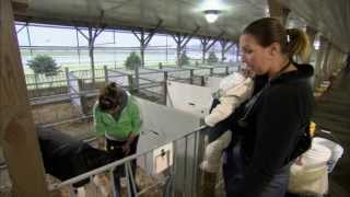 Download VetsOnCall - Dr. Lindsey Peck cares for baby calves Video