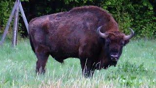 Download Bisonte Europeu * European Bison - Białowieża Video