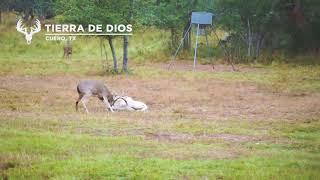 Download Ram and BIG Buck Fight at Tierra De Dios Ranch Video