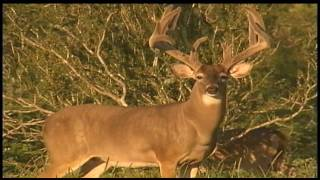 Download Majestic Buck Emerges from Texas Brush Video