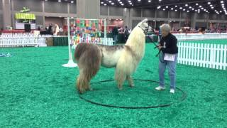 Download Llama on the Obstacle Course at NAILE | Doris Schlemmer Makes It Look Easy Video
