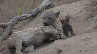 Download Moment of the Week: Hyena cub cuteness Video