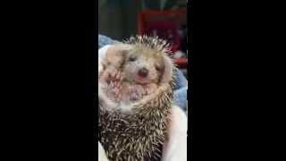 Download Tired Baby Hedgehog Yawning Video