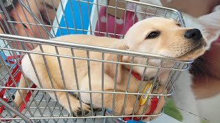 Download Labrador Puppies Funny Compilation #11 - Best of 2018 Video