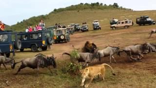 Download Wildebeest crossing Lion Ambush Video