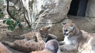 Download Mountain Lion Cubs Learn Behavioral Cues from Grandma Kaya Video
