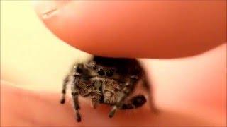 Download Petting my Phidippus Adumbratus Jumping Spider Video