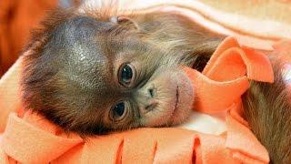 Download Orangutan bébi a Budapesti Állatkertben Video