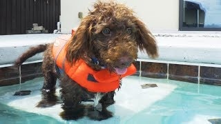 Download TEACHING A PUPPY TO SWIM - Super Cooper Sunday #156 Video