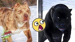 Download Las 7 Razas de Perros MÁS LETALES que EXISTEN   DeToxoMoroxo Video
