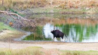 Download Wild Buffalo (Gaur) chases away tiger and tiger run away for life. (full version) Video