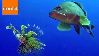 Download Lionfish VERSUS Grouper Video