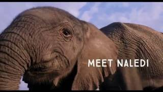 Download Naledi: A Baby Elephant's Tale Video