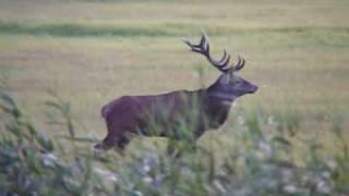 Download Hirsche im Peental Video