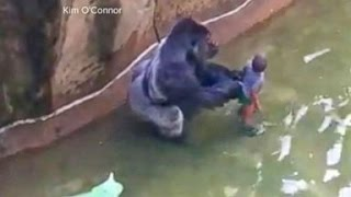 Download Gorilla Killed After Child Falls Into Zoo Habitat Video