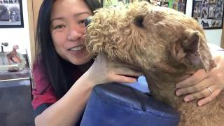 Download How To Hand-strip An Airedale Terrier's Head (Part 1 of 2) Video