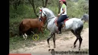 Download Stallion Behavior & Horse Challenging Behavior - Safe or Smart - You Decide Video