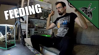 Download Poecilotheria-s are CRAZY! - Feeding video Video