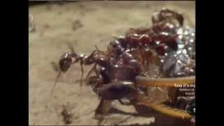 Download Swarming Army Ants in Africa Video