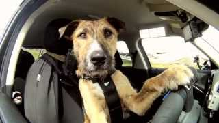 Download Meet Porter. The World's First Driving Dog. Video