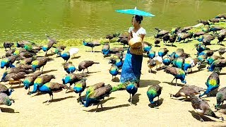 Download Peacock flying and peacock sound Video