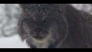 Download Canada lynx: wildlife celebrity Video
