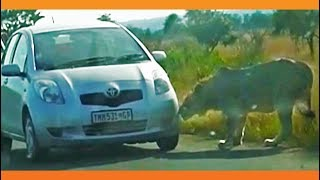 Download Lion Bites Tire Causing it to Explode Video