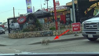 Download As this homeless poodle ran towards the freeway, we had to do something crazy to save his life! Video