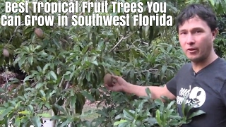 Download Best Tropical Fruits Trees You Can Grow in Southwest Florida Video