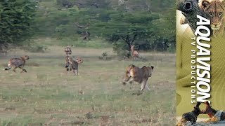 Download Lioness chase Cheetah brothers off their kill | Royalty Free Stock Video