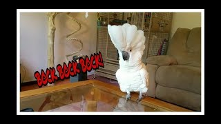 Download Onni The Baby Cockatoo Is A Big Fancy White Crested Chicken. Video