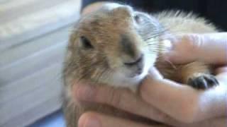 Download LOLA, Perrito de las praderas, Prairie dog Video